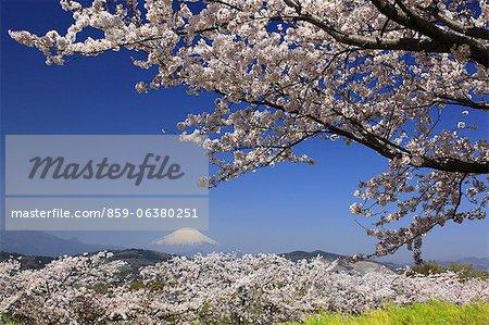 Fleurs de la cerise et le Mont Fuji
