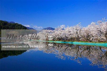 Sakura, parc de Garyuu, préfecture de Nagano, Japon