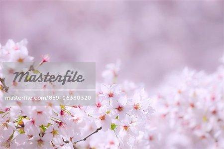 Cerisiers en pleine floraison