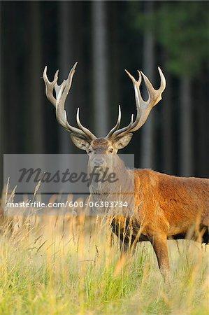Red Deer, Saxony, Germany
