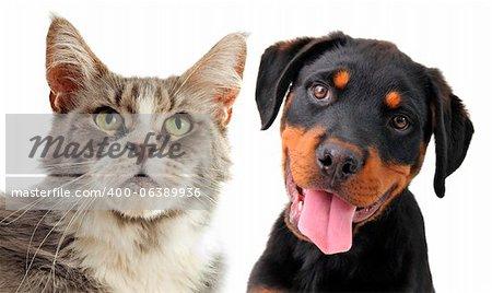 Portrait d'une race maine coon cat et chiot rottweiler sur fond blanc