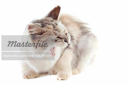 Portrait d'un chat agressif de coon maine sur fond blanc