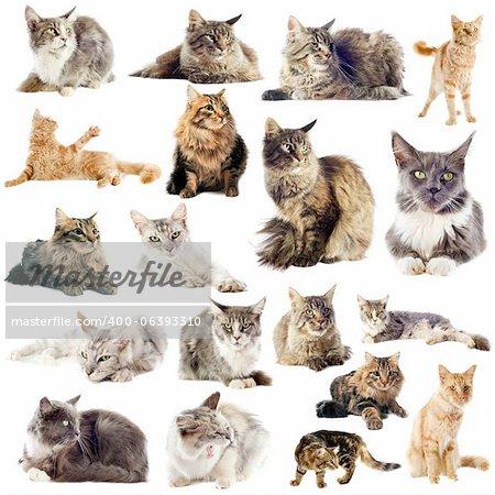 Portrait de pure race chats de ragondin du maine sur fond blanc
