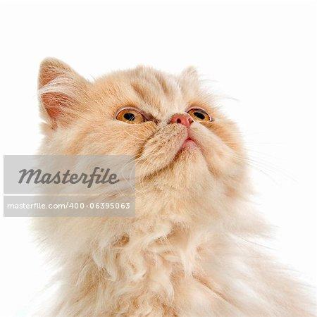 tête de chaton persan devant un fond blanc