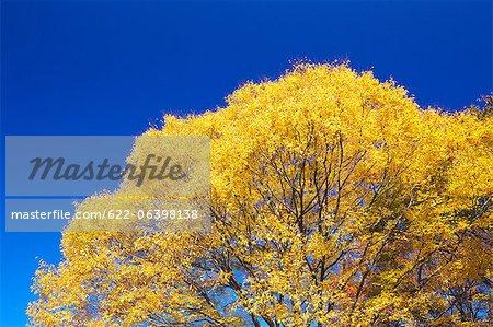 Gelbe Blätter Zelkova