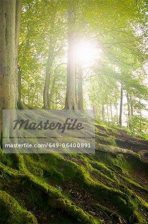 Racines d'arbres moussus sur la colline de la forêt