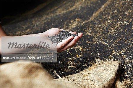 Main écopant les grains récoltés