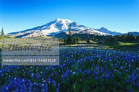 Alpine wilde Blume sommerwiese auf dem Skyline Trail, Mount-Rainier-Nationalpark, Washington, USA