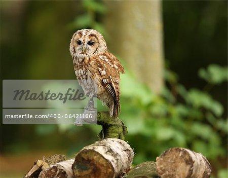 Portrait d'une Chouette hulotte dans la forêt