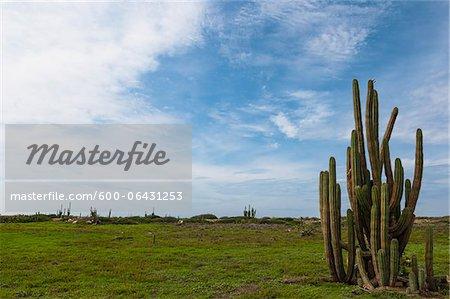 Cactus, Aruba, petites Antilles, Caraïbes