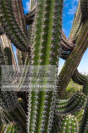 Gros plan des aiguilles sur les Cactus, petites Antilles, Aruba, Caraïbes