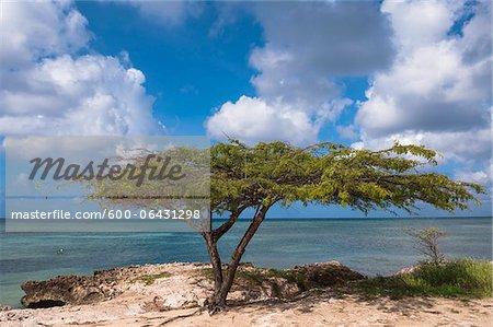 Arbre solitaire sur la plage, Savaneta, Aruba, petites Antilles, des Caraïbes