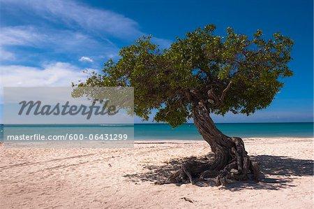 Lone Tree, Palm Beach, Aruba, petites Antilles, des Caraïbes