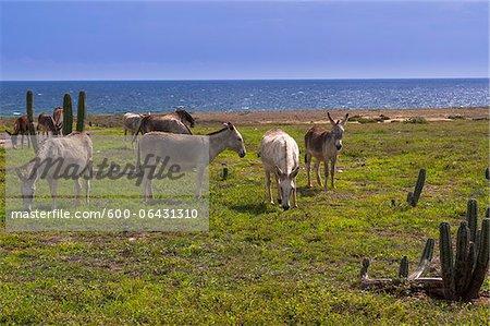 Wild Donkeys, Arikok National Park, Aruba, Netherlands Antilles, Caribbean