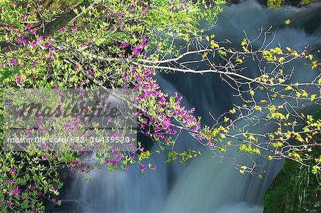 Azalea flowers and Ryuzu waterfall, Tochigi Prefecture