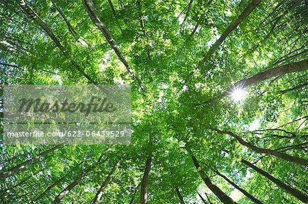 Forêt de bouleaux dans la préfecture de Niigata