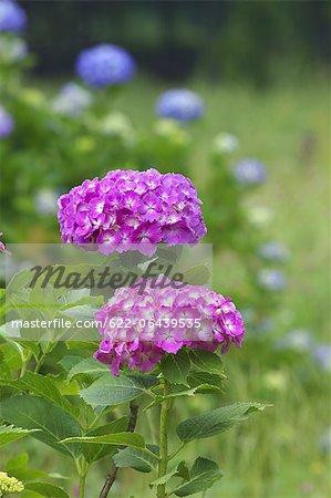 Gros plan de deux fleurs d'hortensia