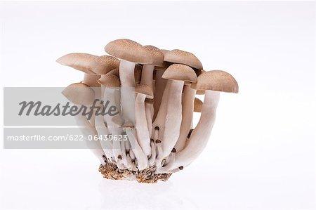 Shimeji mushrooms against white background