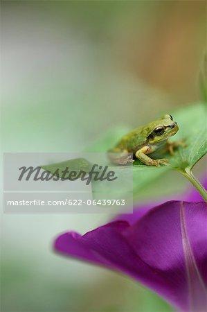 Gros plan de la grenouille et fleur de gloire de matin japonais