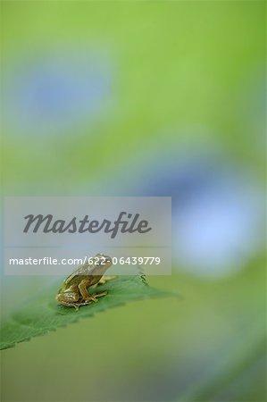 Gros plan de grenouille et des feuilles de l'hortensia