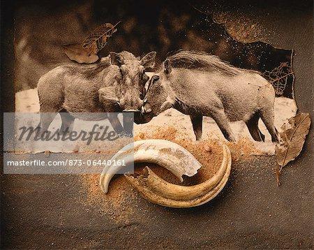 Phacochères et cornes Warthog