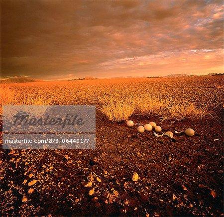 Œufs d'autruche dans le paysage du Damaraland, Namibie