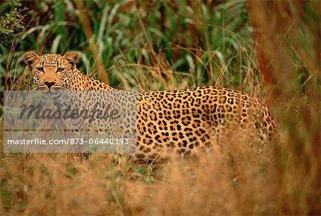 Portrait of Leopard in Long Grass