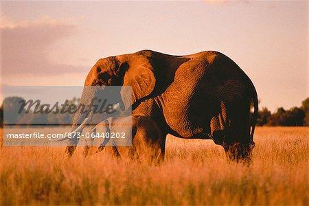 Éléphant avec veau