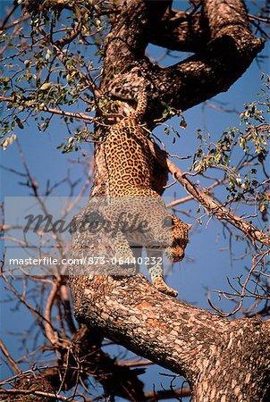Léopard rampant Down branche