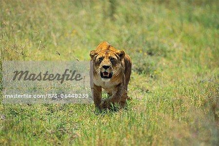 Lionne marchant dans le champ