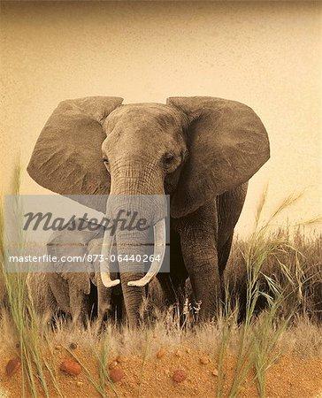 African Elephant et veau permanent dans le domaine