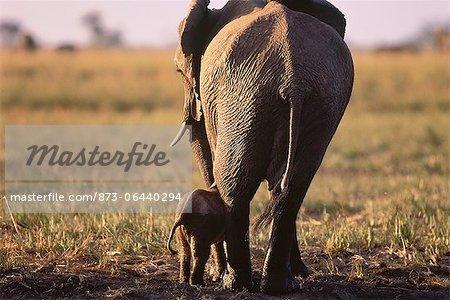 Éléphant avec veau Savuti région, près de Chobe au Botswana, en Afrique du Sud