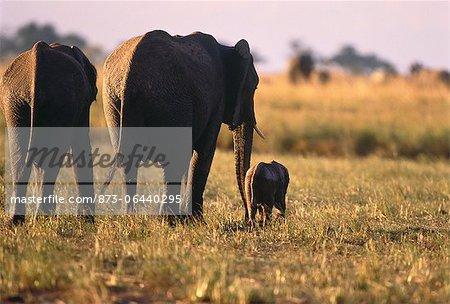 Éléphants avec veau Savuti région, près de Chobe au Botswana, en Afrique du Sud