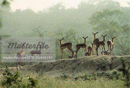 Troupeau de Impala sur la colline