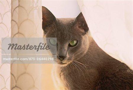 Portrait de chat siamois dans fenêtre