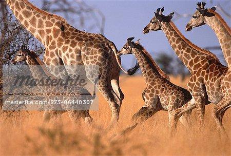 Girafe en cours d'exécution dans les Prairies