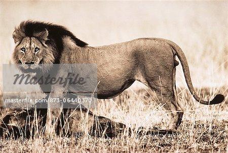 Portrait de Lion debout sur les proies