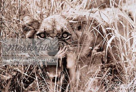 Portrait of Lioness Snarling