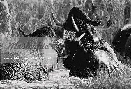 Éléphants de combat dans la rivière