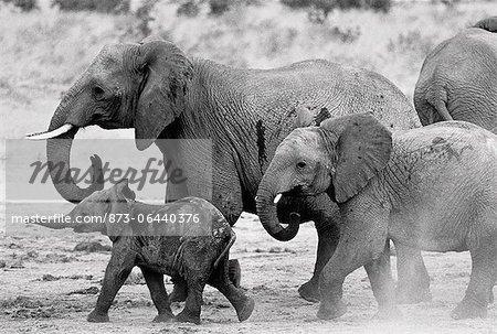 Famille éléphant marche dans la boue