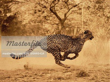 Cheetah en cours d'exécution