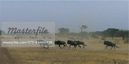Troupeau de gnous traversant le champ du Serengeti en Tanzanie, Afrique