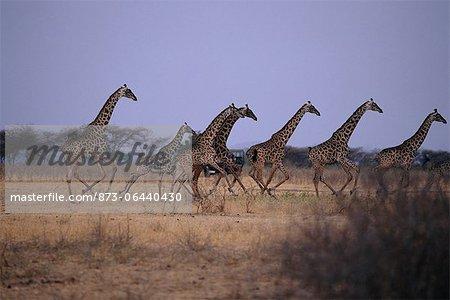 Troupeau de girafes qui traverse le terrain, l'Afrique du Serengeti en Tanzanie