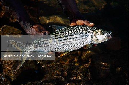 Mains tenant le poisson tigre dans l'eau