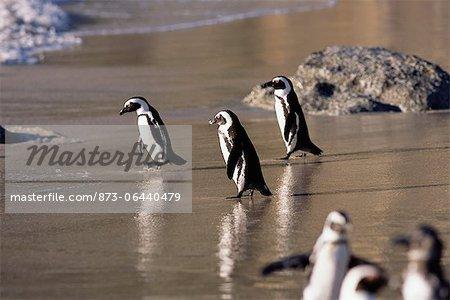 Jackass Penguins on Beach Dussen Island, Cape Agulhas Western Cape, South Africa