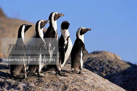Pingouins Jackass debout sur Rock Dussen Island, Cape Alguhas Western Cape, Afrique du Sud