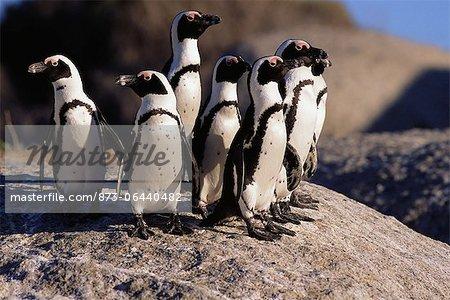 Jackass Penguins Standing on Rock Dussen Island, Cape Alguhas Western Cape, South Africa