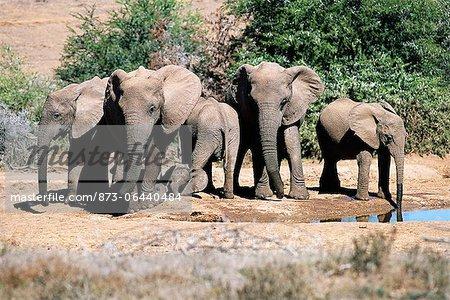 Éléphants d'Afrique à trou d'eau Addo Elephant National Park Eastern Cape, Afrique du Sud