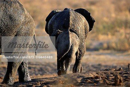 Vue arrière des éléphants d'Afrique à trou d'eau, Afrique