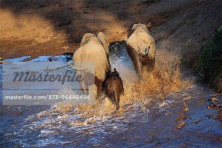 Vue arrière du African Elephants passage rivière Kruger National Park Mpumalanga, Afrique du Sud